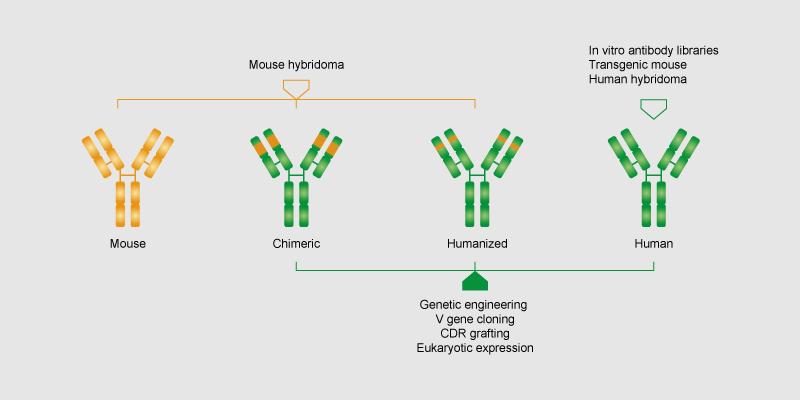 嵌合抗体构建