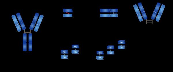 极受欢迎的抗体配置形式