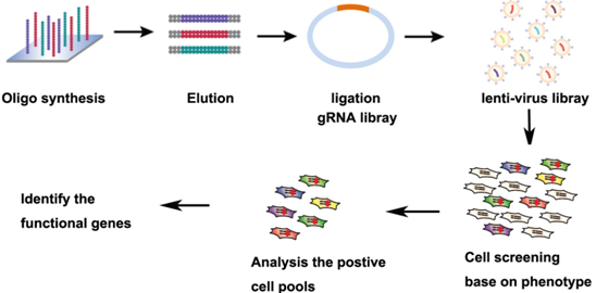 CRISPR-Cas9 sgRNA文库构建与筛选技术路线图