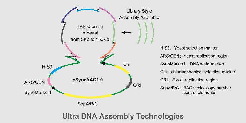 基因簇及小基因组的合成与组装平台示意图