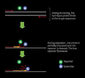 qPCR探针法