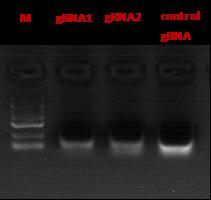图2. sgRNA琼脂糖凝胶电泳图