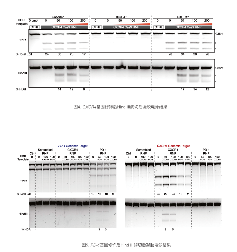 CXCR4基因修饰后Hind III酶切后凝胶电泳结
