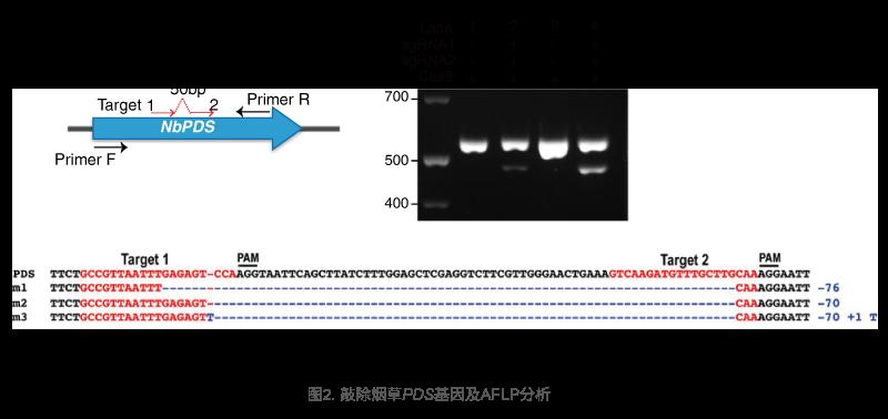 敲除烟草PDS基因及AFLP分析