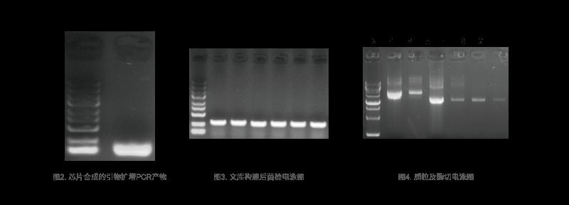 哺乳动物基因编辑应用结论