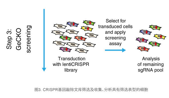 CRISPR基因敲除文库筛选及收集、分析具有筛选表型的细胞