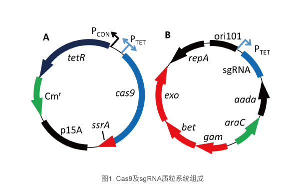 Cas9及sgRNA质粒系统组成