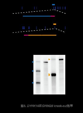 哺乳动物基因编辑