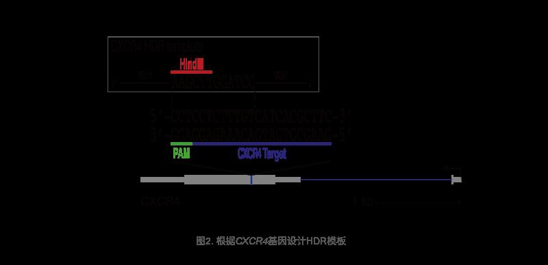 根据CXCR4基因设计HDR模板