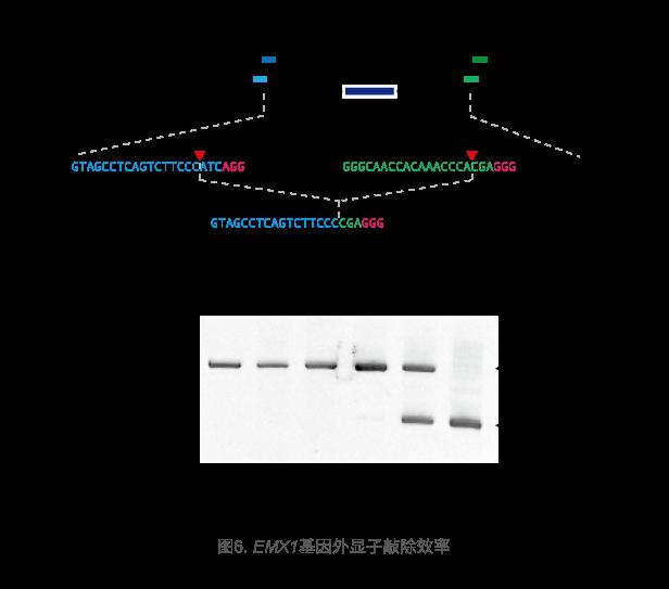 EMX1基因外显子敲除效率