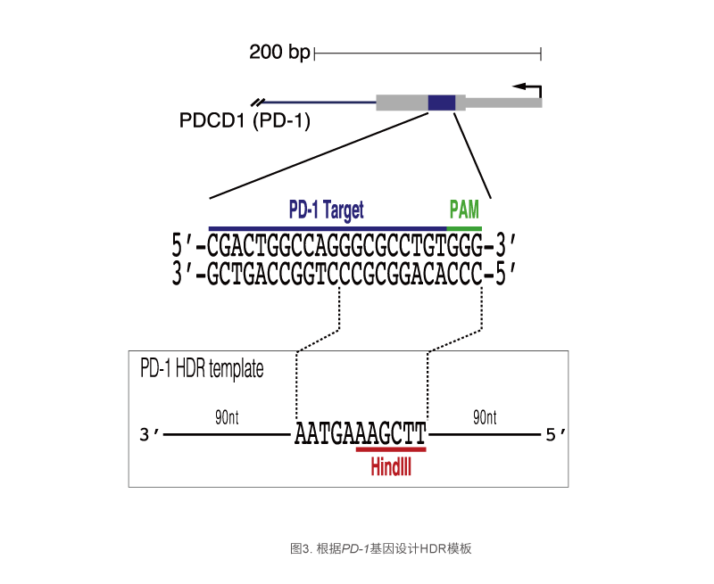 根据PD-1基因设计HDR模板