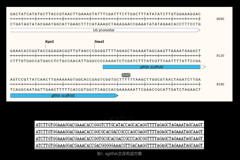 哺乳动物基因编辑案例1