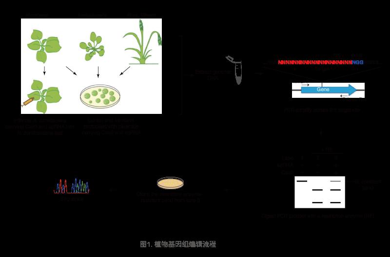 植物基因组编辑流程