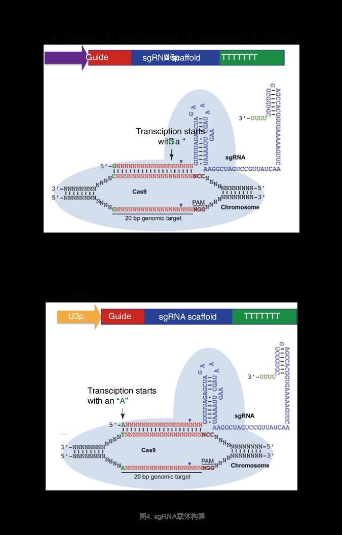 sgRNA载体构建