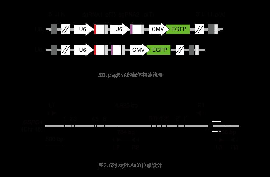 6对 sgRNAs的位点设计