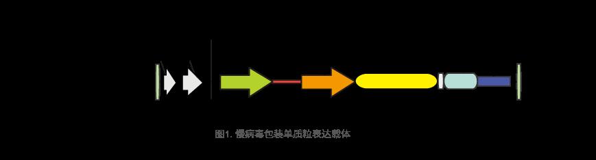 慢病毒包装单质粒表达载体