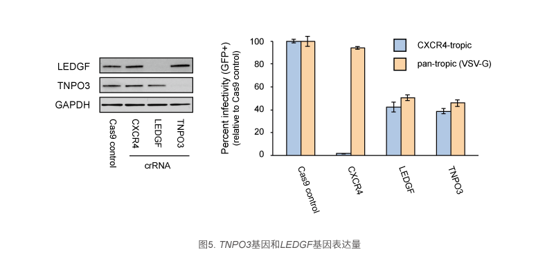 TNPO3基因和LEDGF基因表达量