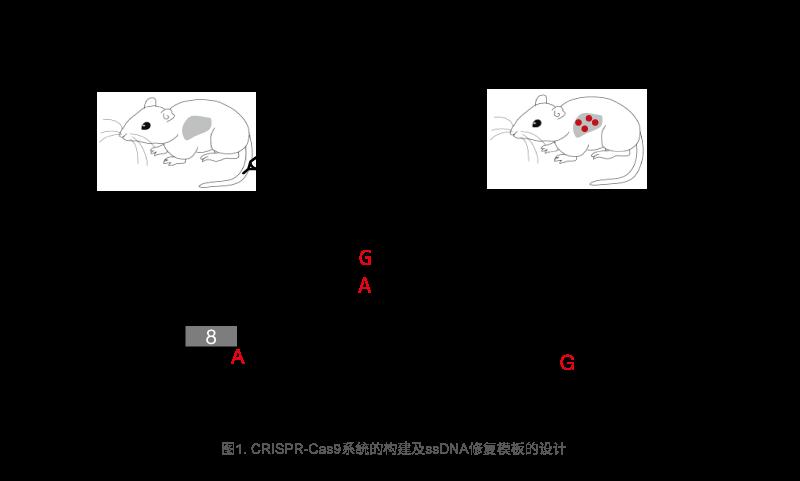 CRISPR-Cas9系统的构建及ssDNA修复模板的设计
