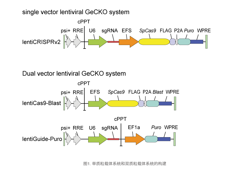 单质粒载体系统和双质粒载体系统的构建