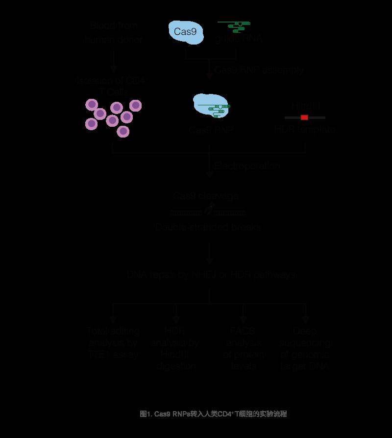 Cas9 RNPs转入人类CD4+ T细胞的实验流程