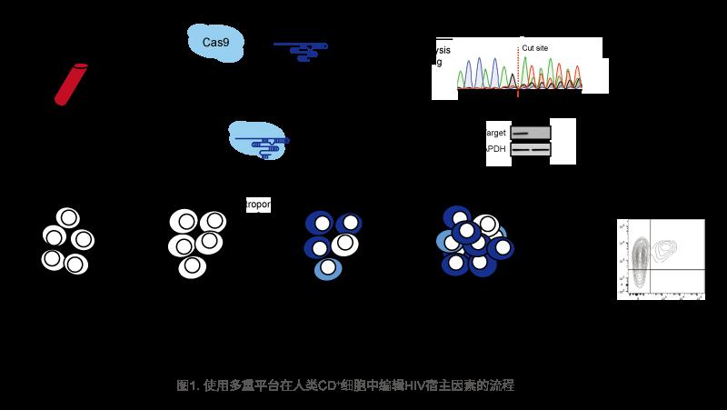 使用多重平台在人类CD+细胞中编辑HIV宿主因素的流程