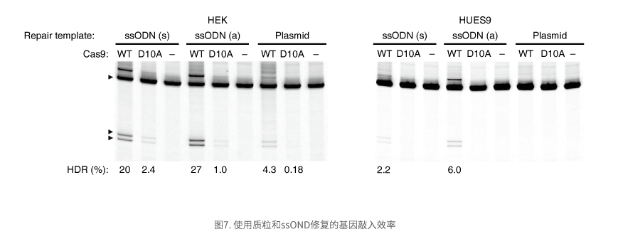 使用质粒和ssOND修复的基因敲入效率