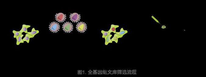 全基因组文库筛选流程