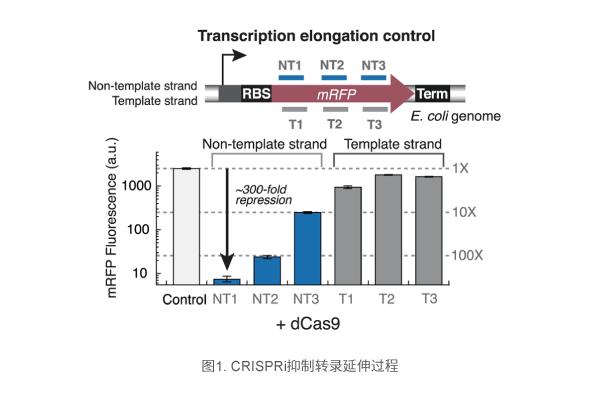 CRISPRi抑制转录延伸过程