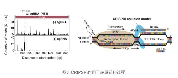 CRIPSRi作用于转录延伸过程