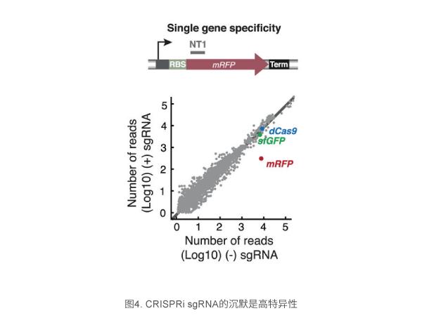 CRISPRi sgRNA的沉默是高特异性