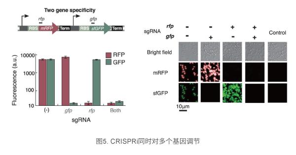 CRISPRi同时对多个基因调节