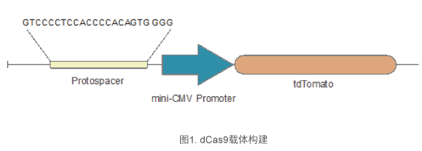 dCas9载体构建