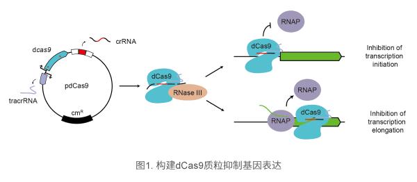 构建dCas9质粒抑制基因表达