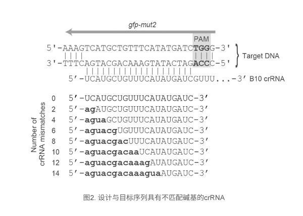 设计与目标序列具有不匹配碱基的crRNA
