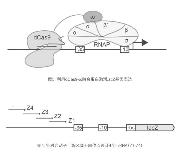 针对启动子上游区域不同位点设计4个crRNA(Z1-Z4)