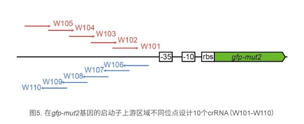 在gfp-mut2基因的启动子上游区域不同位点设计10个crRNA(W101-W110)
