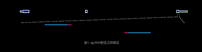 sgRNA设计方案