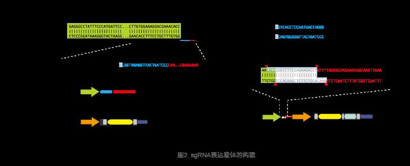 构建sgRNA和Cas9表达载体
