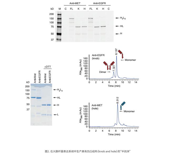 双特异性抗体