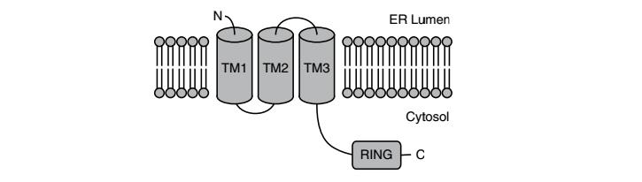TMEM129