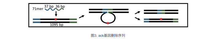ack基因删除序列