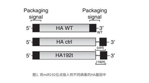 将miR192位点插入到不同病毒的HA基因中