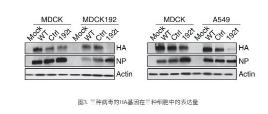 三种病毒的HA基因在三种细胞中的表达量