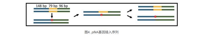 pfkA基因插入序列