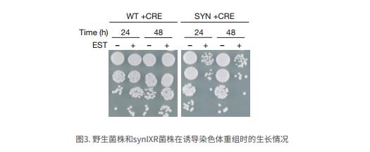 野生菌株和synIXR菌株在诱导染色体重组时的生长情况