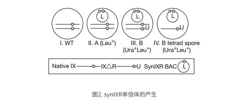 synIXR单倍体的产生