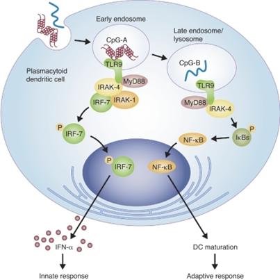 CpG细胞内免疫反应