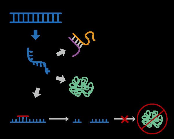 反义寡核苷酸